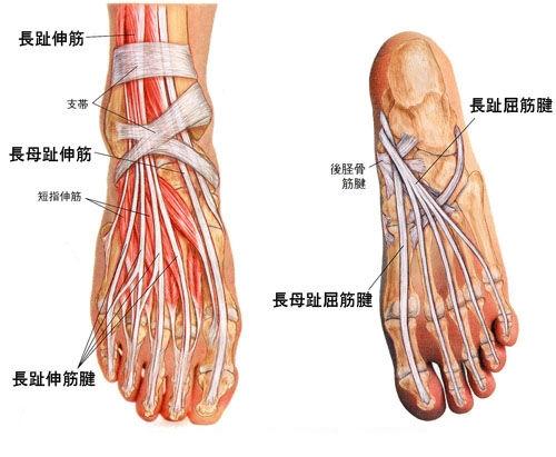 長母趾屈筋腱-足底