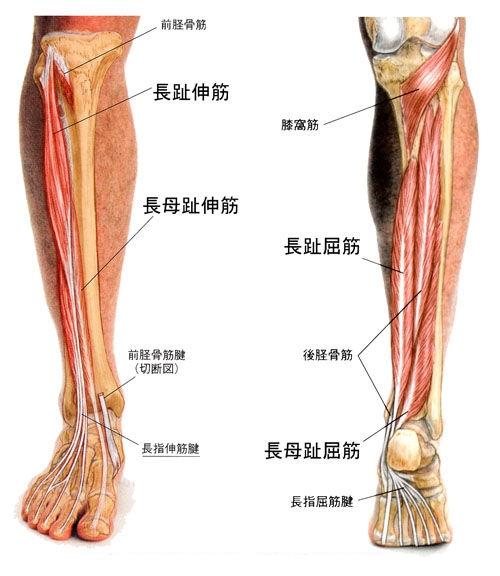 長母趾屈筋腱-下肢