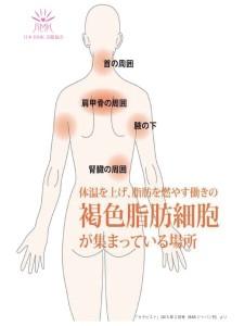褐色脂肪細胞-1
